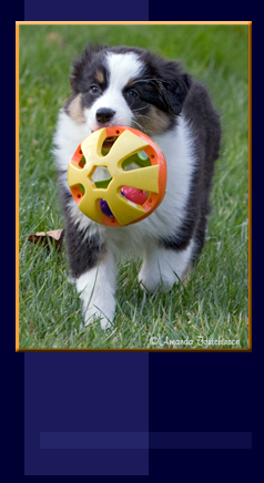 Circle C Australian Shepherds Blue Isle Austr...